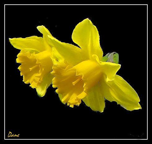 Duo jaune