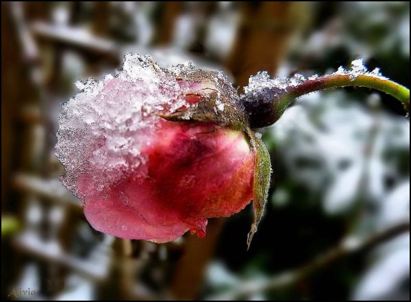 Première neige sur le jardin ..