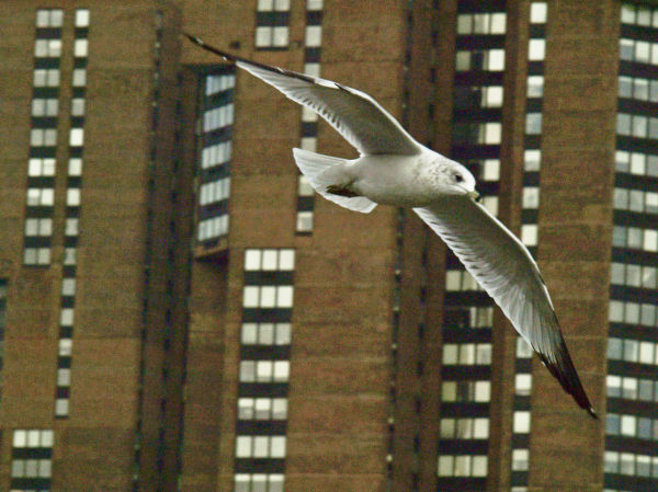 East River Seagull