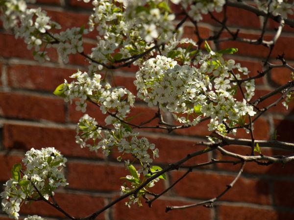 Cherry Blossom on Brick