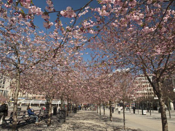 Kungsträdgården Cherry Blossoms