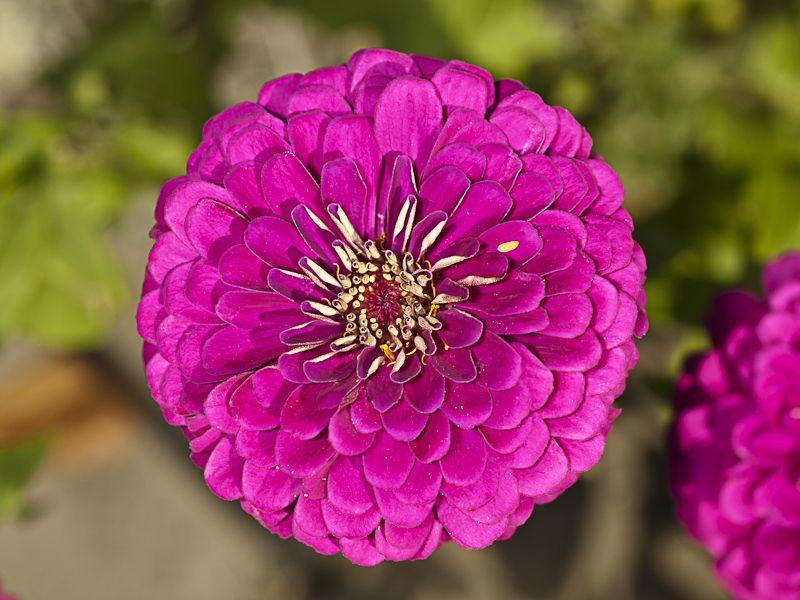 Fuscia Flower