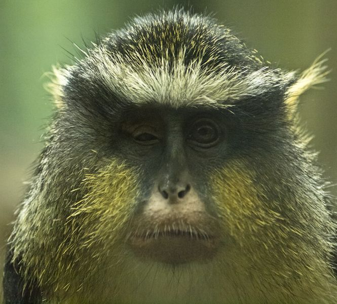 Monkey Ptosis