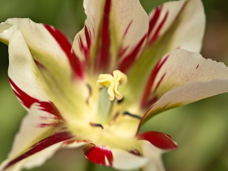 Red & White Tulip Macro