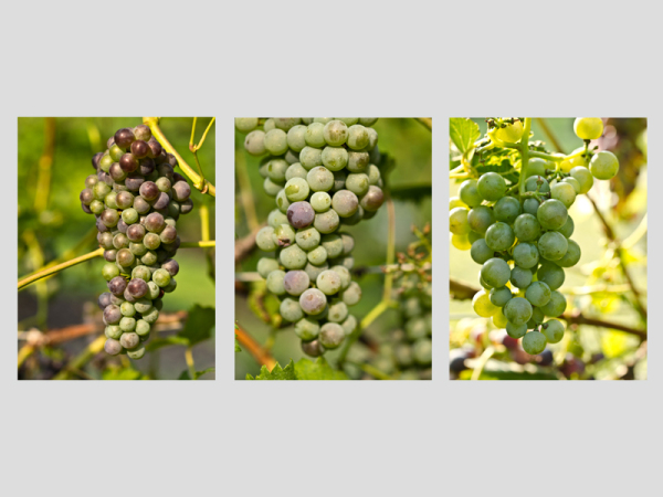 Grape Triptych