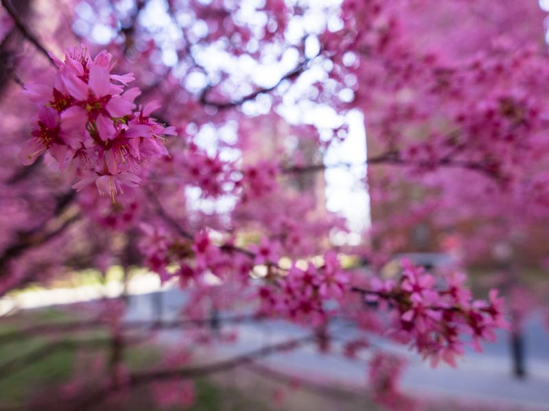 Neighborhood Cherry Trees