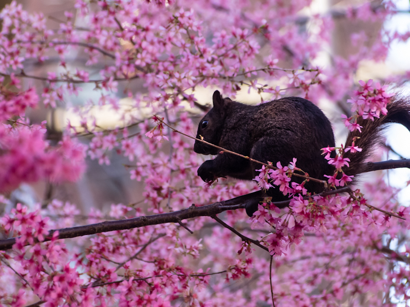 Squirrel in cherry tree