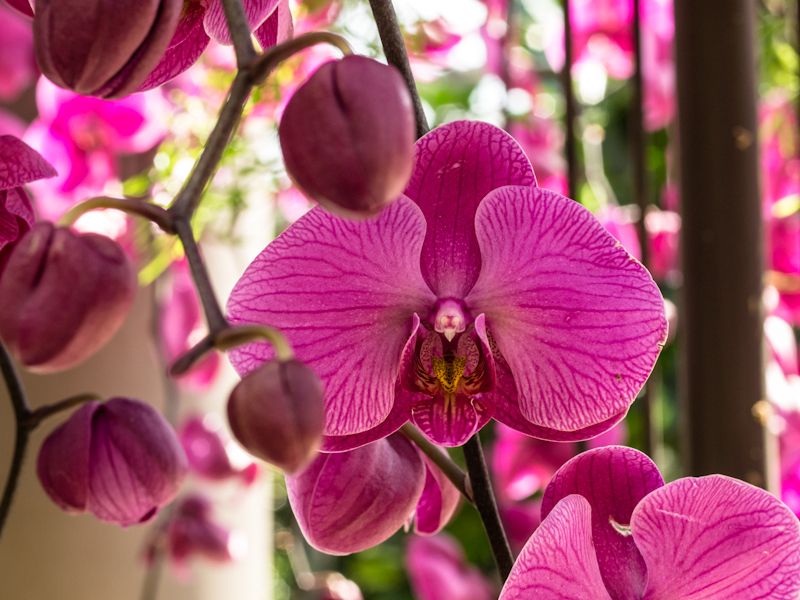 Orchid & buds