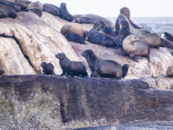Houts Bay Sea Lions, South Africa