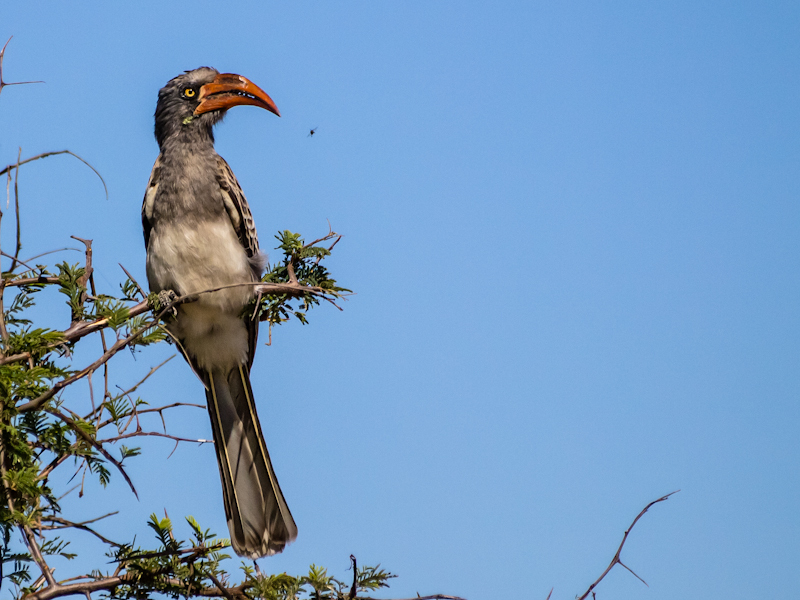 Yellowbilled Hornbill - about to snack!