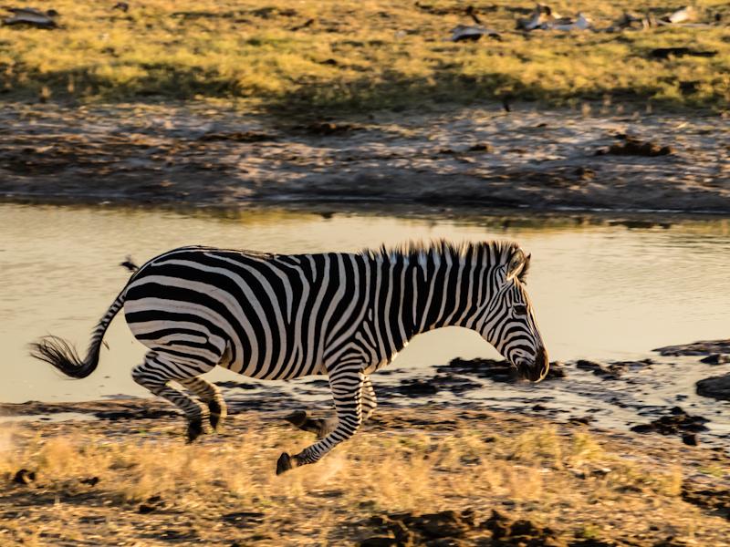 Zebra in flight