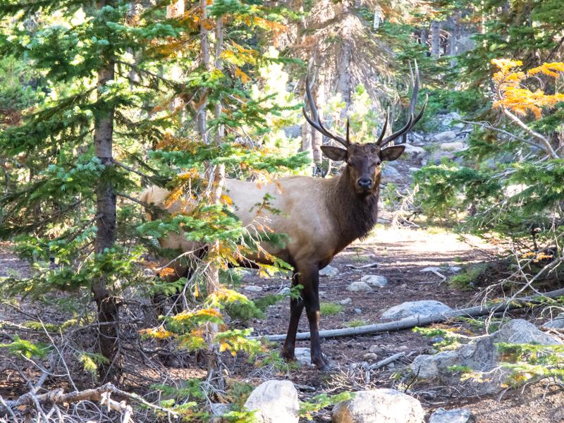 RMNP - Male Elk at Bear Lake