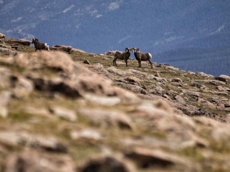 RMNP - Big Horn Sheep!