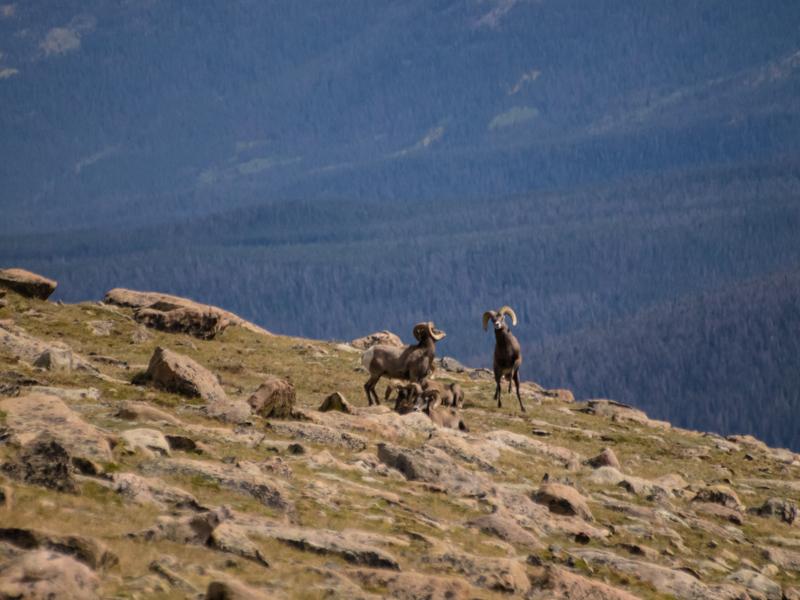 RMNP - Big Horn Sheep