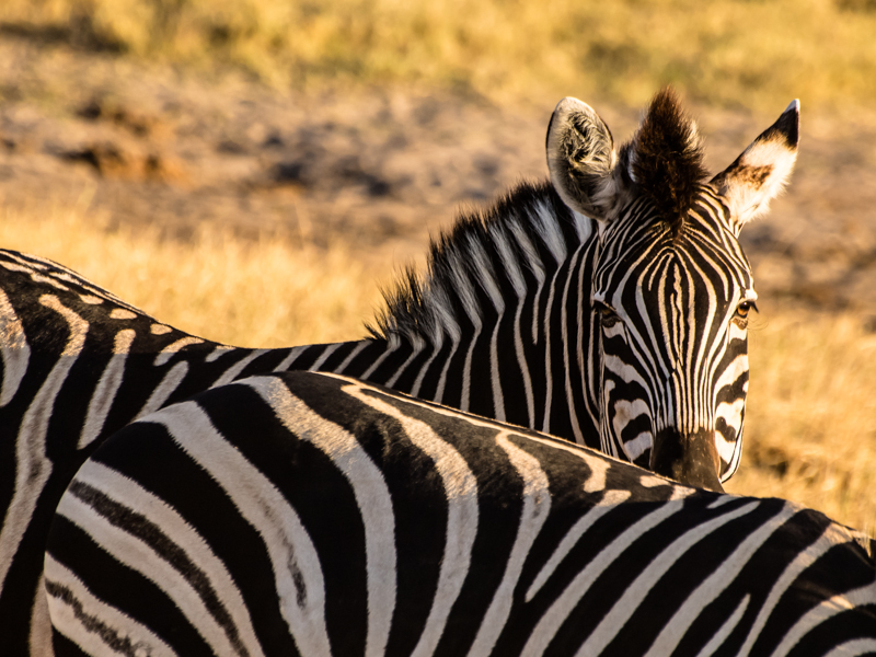 Hwange Zebra at Sunset