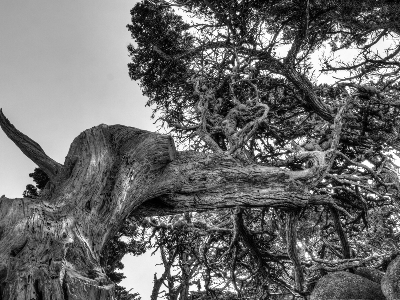 Cali: Crooked Cypress Treet at Point Lobos