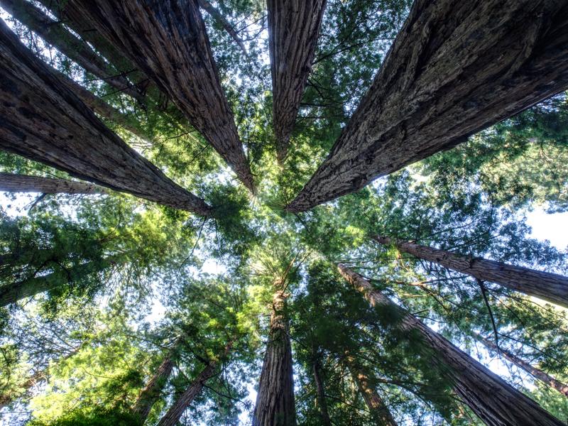 Cali - Muir Woods