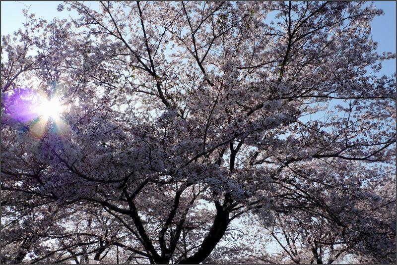 big cherry tree LEICA
