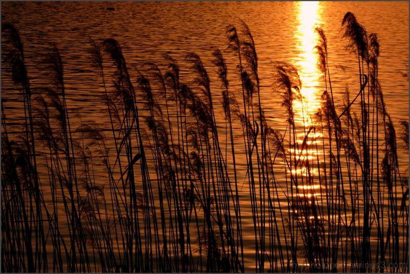 The shadow of the reeds LAKE BIWA LEICA