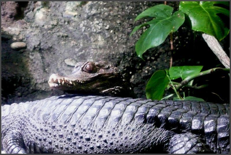 The crocodile in the aquarium
