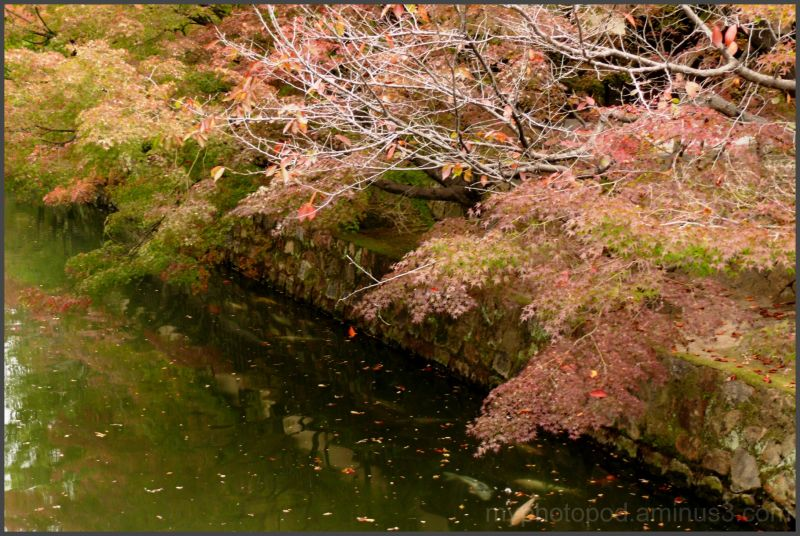 Colored leaves and the carp of the moat