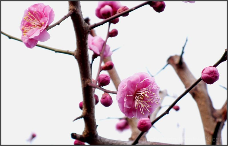 The flower of the plum.