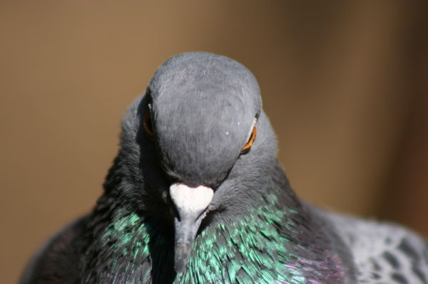 animals birds pigeon piccione