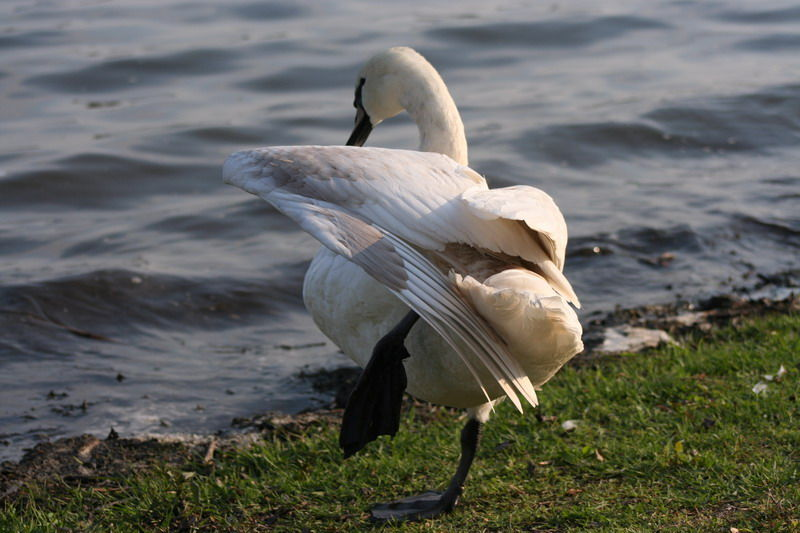 animal swan lake varese
