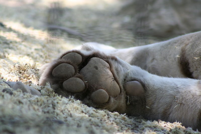 animals feline tiger peacefull