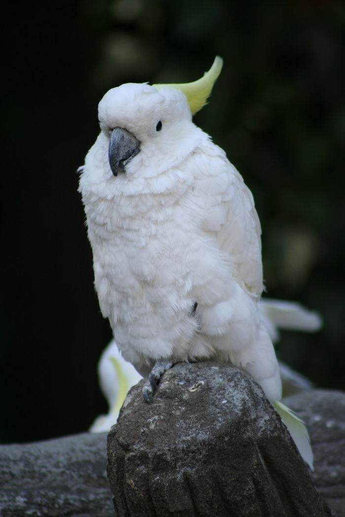 birds animals cacatua