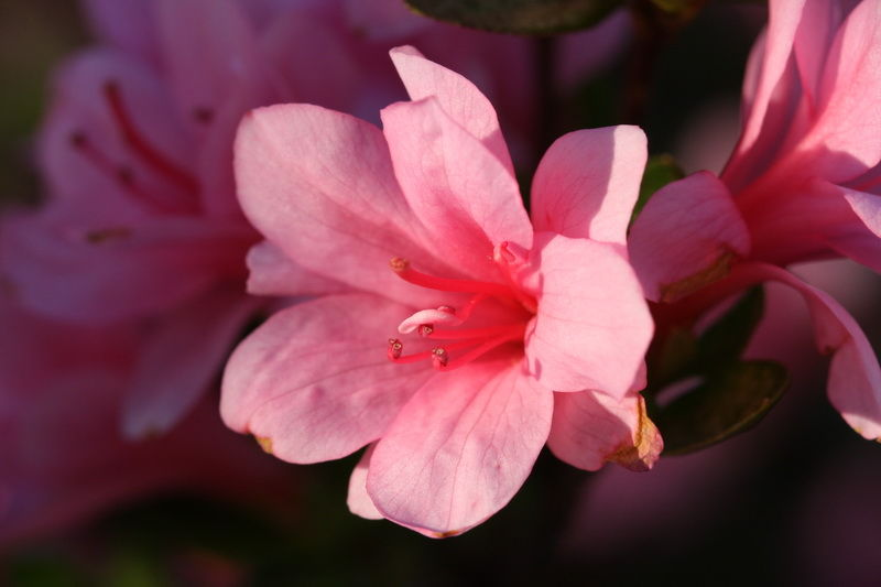 macro flower azalea