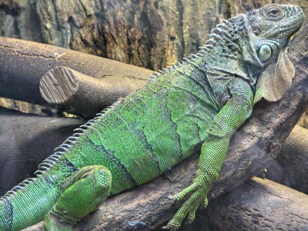 animals iguana