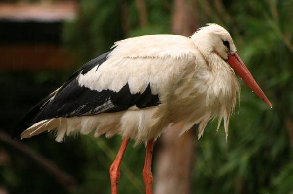 cicogna bird animal