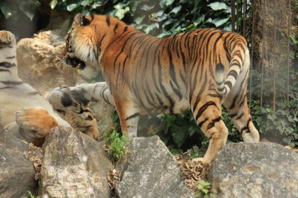 animal tiger cornelle