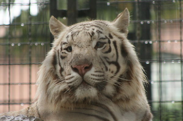 tiger cornelle