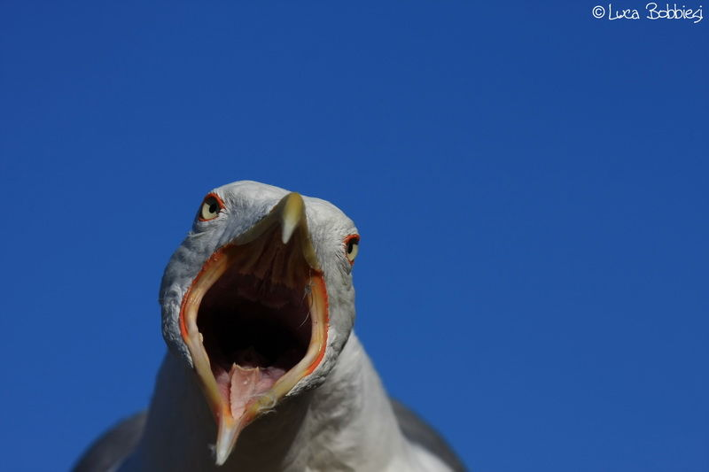 Crying Seagull