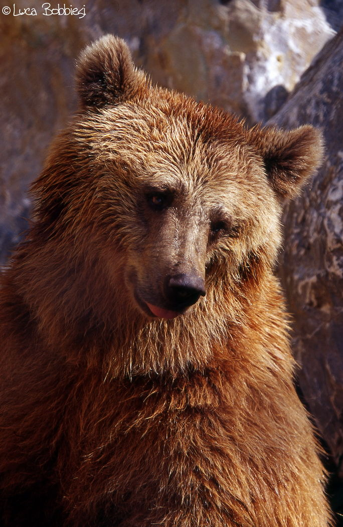 A Bear Portrait