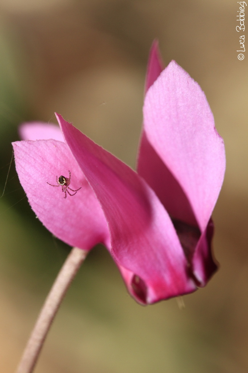 Spider and Cyclamen