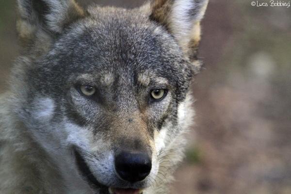 Wolf's Glance