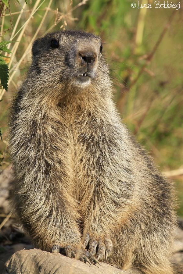 Portrait Of A Marmot #2