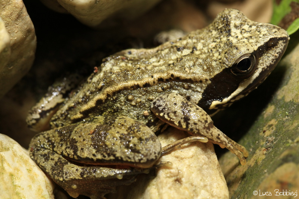 Just A Frog