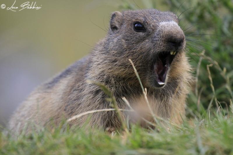 Angry Marmot