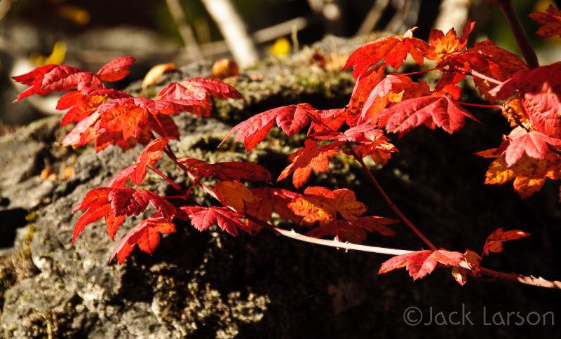 Vine Maple & Lava