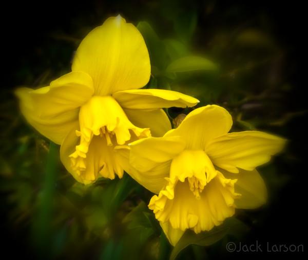 DaffodilBlur