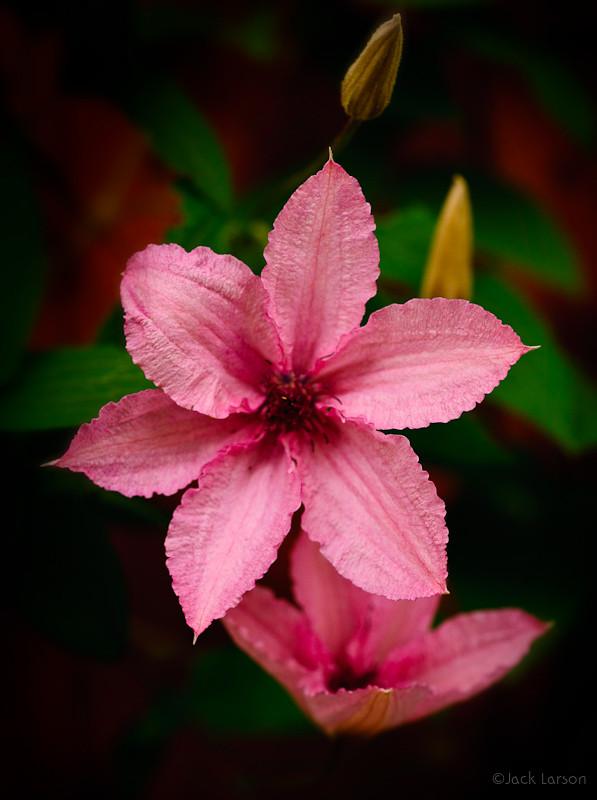 PinkClematis