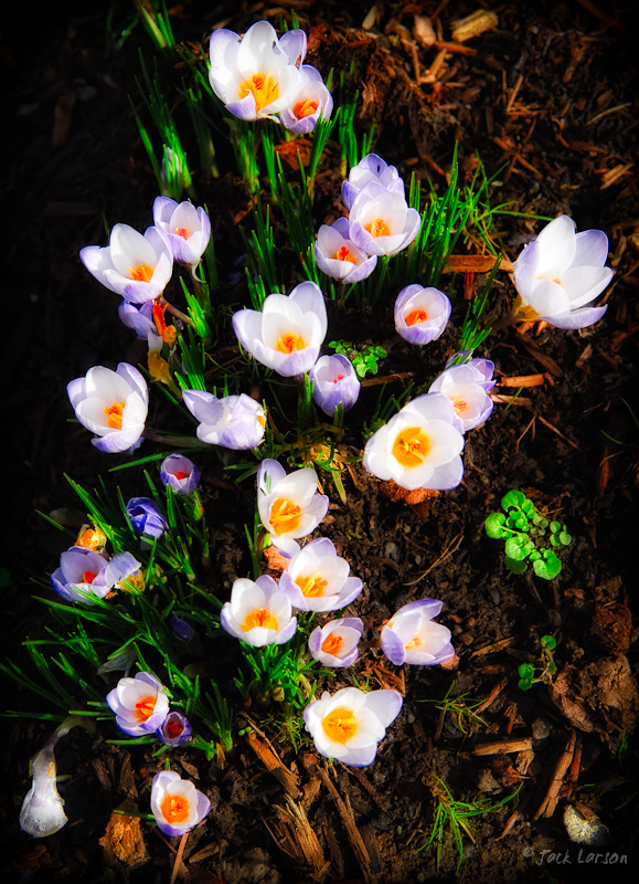 FirstCrocuses1