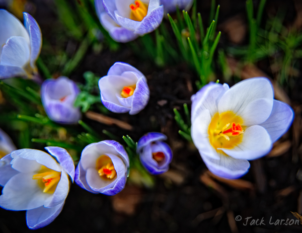 FirstCrocuses2