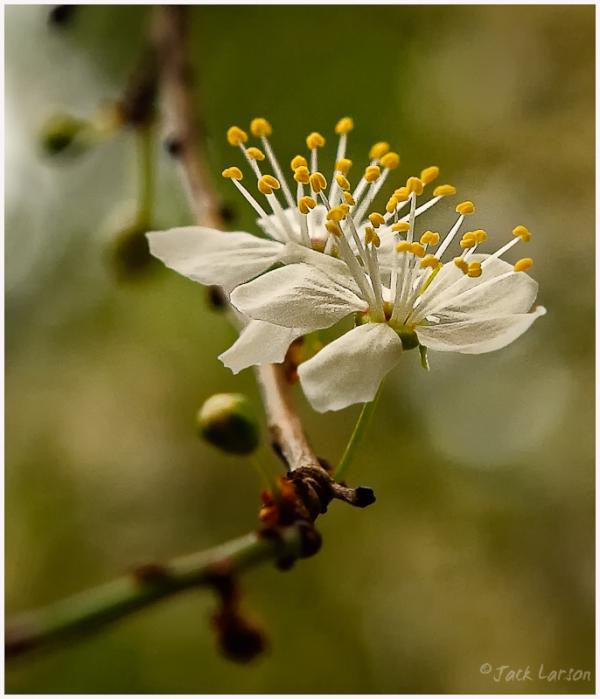 WhiteBlossom#1