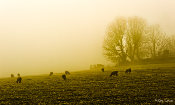 Sheep in the Fog
