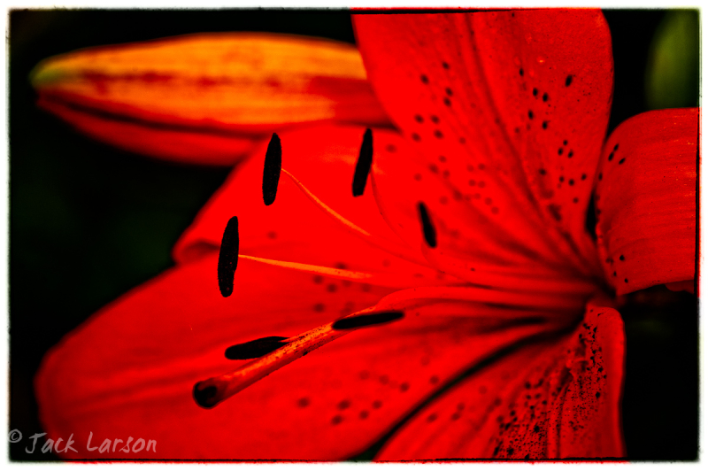 Lily Time
